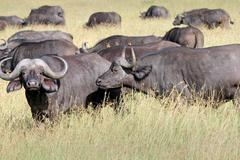 A WILD herd of African Buffalo in the Masai Mara, Kenya, Africa. - stock photo