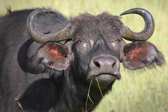 A WILD African Buffalo intimidates the photographer in Kenya, Africa. - stock photo