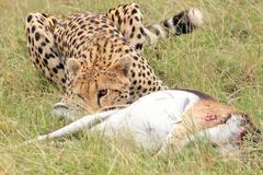 A cheetah subdues its prey--a Gazelle--in the Masai Mara, Kenya, Africa. - stock photo