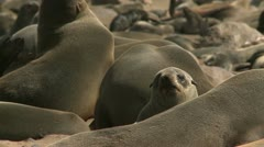 Cape Fur Seal colony Stock Footage