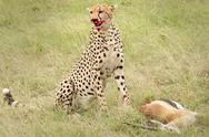 Stock Photo of A cheetah subdues its prey--a Gazelle--in the Masai Mara, Kenya, Africa.