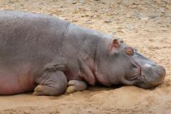 Stock Photo of WILD Hippopotamus Sleeping in the Masai Mara, Kenya, Africa.