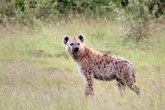 A WILD Spotted Hyena walks the savanna in the Masai Mara, Kenya, Africa. Stock Photos
