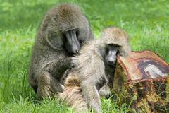 Wild Baboons pair bonding, grooming, and socializing in Kenya, Africa. - stock photo