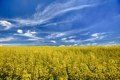 the field of flowering oilseed rape - stock photo