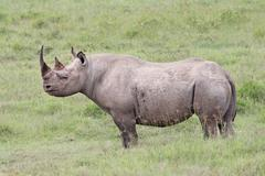 The Critically Endangered Black Rhinoceros at Lake Nakuru, Kenya, Africa. Stock Photos