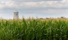corn crop flowers with silo in distance - stock photo