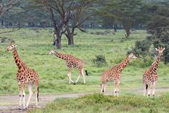 A WILD Group of Rothschild Giraffes at Lake Nakuru, Kenya, Africa. - stock photo