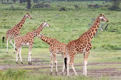 A WILD Group of Rothschild Giraffes at Lake Nakuru, Kenya, Africa. Stock Photos