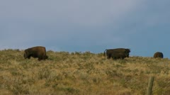 Bison on the Hill - stock footage