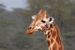 An extremely ENDANGERED Rothschild Giraffe at Lake Nakuru, Kenya, Africa. - stock photo