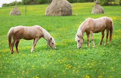 two horses graze in a meadow with haystacks - stock photo
