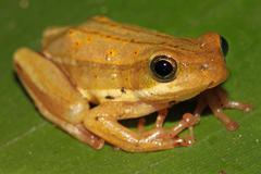 Painted Reed Frog (Hyperolius marmoratus) in Kenya, Africa. - stock photo