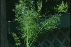 Fennel Stock Footage
