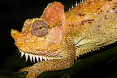 A WILD Helmeted Chameleon on a tree branch in Kenya, Africa. - stock photo