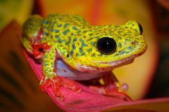 A VIBRANT Common Reed Frog in Uganda, Africa. - stock photo