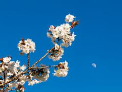 Cherry blossom flowers with moon in background Stock Photos