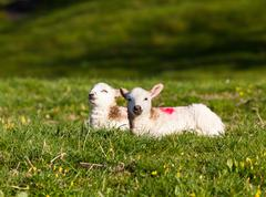 Pair of welsh lambs in meadow Stock Photos
