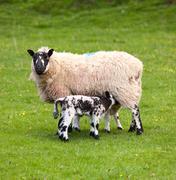 Pair of black welsh lambs in meadow Stock Photos