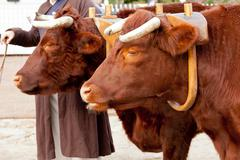 two oxen in yoke pulling a cart - stock photo