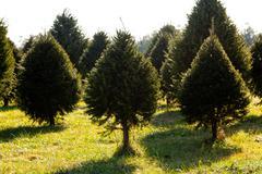 Fraser fir christmas tree in farm Stock Photos