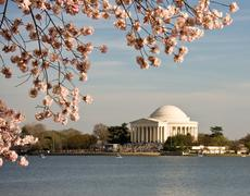 Cherry blossom and jefferson monument Stock Photos