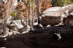 Scorched trees after forest fire Stock Photos