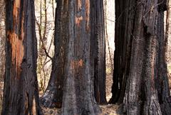 scorched trees after forest fire - stock photo