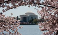 Jefferson memorial framed by cherry blossoms Stock Photos