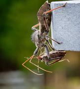 Stock Photo of assassin bug kills shield bug