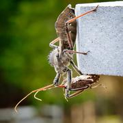 Assassin bug kills shield bug Stock Photos