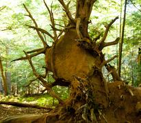 Boulder trapped in roots Stock Photos