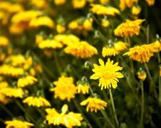 wilted chrysanthemum - stock photo