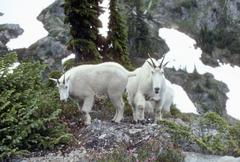 Curious mountain goats Stock Photos
