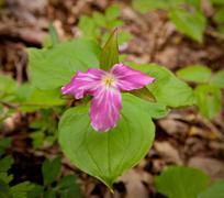 mauve trillium in forest - stock photo