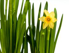 single minature daffodil isolated - stock photo