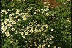 Feverfew flowers - stock footage