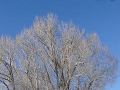 tree in winter with bare branches .. - stock photo