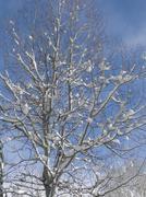 New snow on bare winter aspen trees  .. Stock Photos
