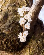 cherry blossom trees by tidal basin - stock photo