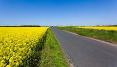 oilseed rape blossoms - stock photo