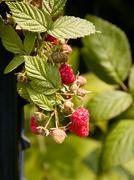 Raspberry berry growing on vine Stock Photos