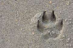 dog paw print in beach sand - stock photo