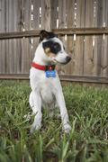 Rat terrier puppy Stock Photos