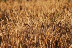 Stock Photo of wheat