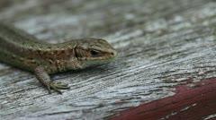 Lizard - Zootoca-vivipara Stock Footage