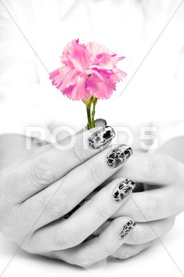 Stock photo of hands holding beutiful pink carnation flower