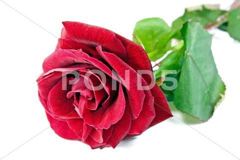Stock photo of single red rose