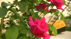 Beautiful pink rose in the garden Stock Footage