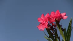 Italy - Oleander Blooms Stock Footage